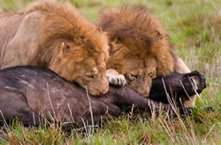 lions feeding in Ngorongoro