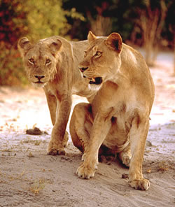 lions in serengeti