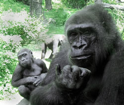 mother and child gorilla